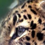 animalfarm-life_jaguar-safari