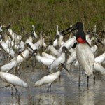 Jabiru, Jabiru mycteria, Waldstorch, Mycteria americana, Silberr