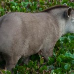 tapir_1870