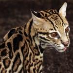 greift ein jaguar auch menschen an