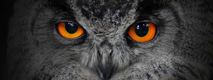 The evil eyes. ( Eagle Owl, Bubo bubo).