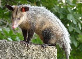 1Schwarzohr-Opossum-wikimedia