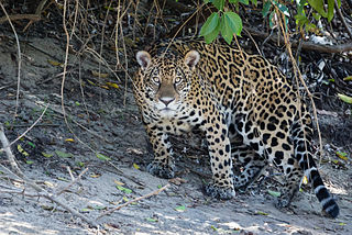 jaguar_brasilien