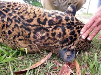 jaguar-tot-340x254