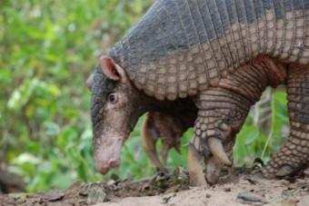 priodontus-maximus