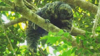 macaco-raro-mato_grosso-amazonia