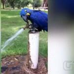 Arara Azul öffnet Wasserhahn für kühlendes Bad