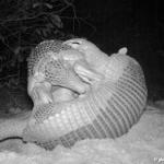 Foto vom spielenden Riesengürtel im Pantanal überrascht Forscher