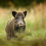 Warum Wildschweine des Pantanal bestimmte Wege wählen