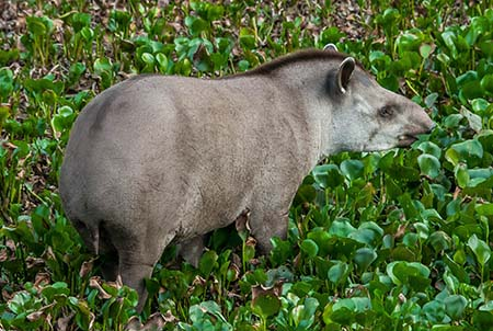tapir_1870