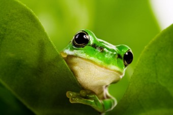 Frog peeking out from behind the leaves