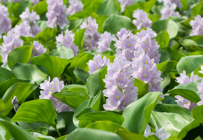 Closeup of Flowering Water Hyacinth (Eichhornia crassipes)