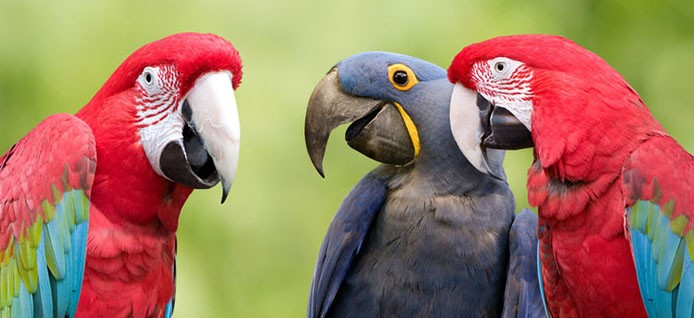 Three colorful parrots meeting together