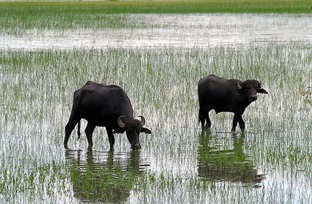 Tiere Brasiliens Wasserbueffel Marajo_AgenciaBrasil