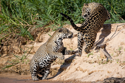 Panthera onca, kaempfend, Brasilien, Pantanal, 08/2011, T.Milse