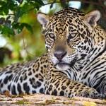 Runder Tisch zum Schutz des Jaguar