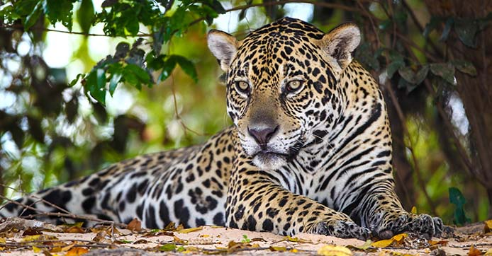 Der gefleckte Jaguar - Foto: Alaor Filho / Fotos Publicos