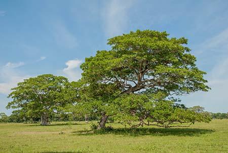 Typischer Baum im Pantanal_2029