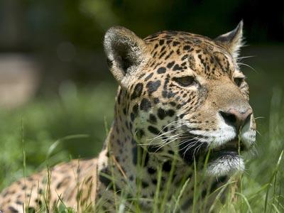 Jaguar - Foto: MG_19548228/Fotolia.com