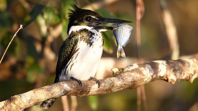 Eisvogel - Foto:  Alaor Filho/Fotos Publicos