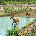 Entwässerungsgräben bedrohen Sumpfhirsche des Pantanal