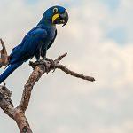 Pantanal stellt sich als Birdwatching-Paradies vor