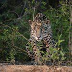 Der Jaguar als Schützer des Pantanals