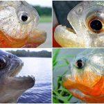 Pantanal: Piranhas hoch im Kurs