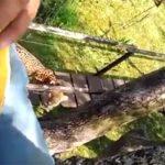 Pantanal-Video: Jaguar beobachtet auf Baum geflüchtete Touristenführer