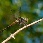 Libellenlarven belegen Artenreichtum des Pantanals