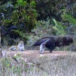 Ameisenbär des Pantanals schlägt Jaguar in die Flucht