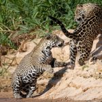 Jaguare fördern Tourismus des Pantanals