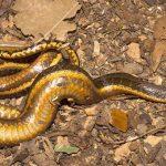 """Biologen entdecken an der Transpantaneira zufällig """"Schlange des Feuers"""""""