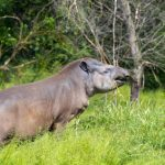 Studie belegt: Pantanal-Kleinod Serra do Amolar ist Heimat seltener Säugetiere