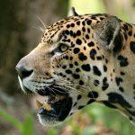 Jaguare machen es sich auf Brücken und Holzstegen bequem