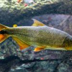 Fischreichtum des Pantanals größer als geahnt