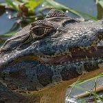 Kaimane des Pantanals profitieren von Covid-Impfungen