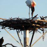 Erfolg im Pantanal: Waldstörche besiedeln künstliches Nest bei Corumbá