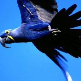 arara-azul