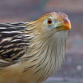 Guira_guira_national_aviary