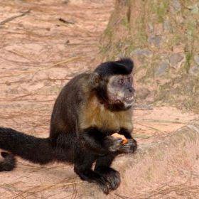 Macaco-prego1