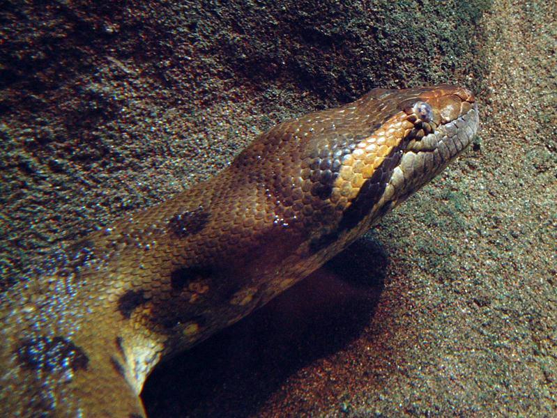 anaconda schlange riesenschlange